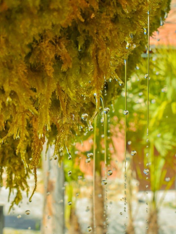 紧密许多水下落从湿绿色青苔的水晶水水滴和落对地板在一好日子 正方形 图库摄影