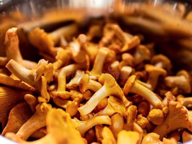 紧密黄色黄蘑菇鸡油菌属cibarius,新鲜的蘑菇 库存照片