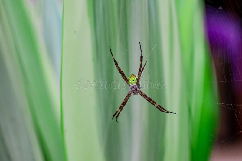 紧密,一只绿色蜘蛛坐它的网,等待的牺牲者的宏观射击吃 免版税库存图片