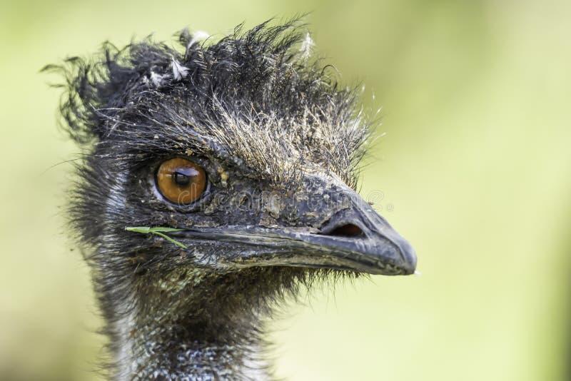 紧密,看在照相机的鸸驼鸟正确的外形画象 免版税库存照片