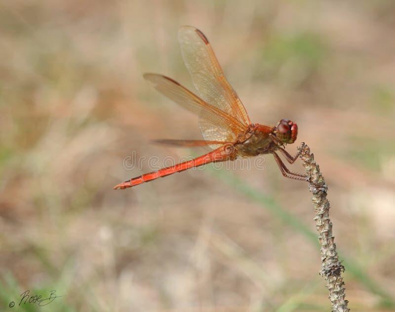 紧的红色蜻蜓举行 免版税图库摄影