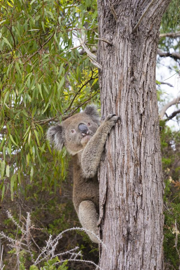 紧贴对一棵树的考拉在澳大利亚 库存照片