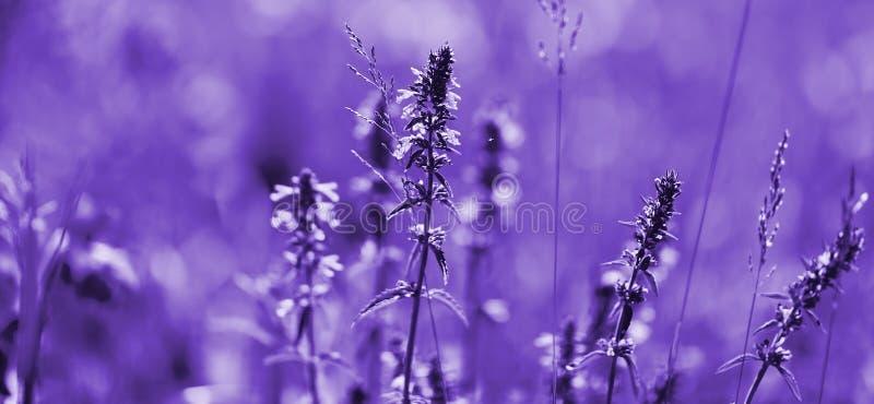 紫外口气淡紫色花  与柔光作用的紫罗兰色淡紫色领域您的花卉背景的 免版税库存照片