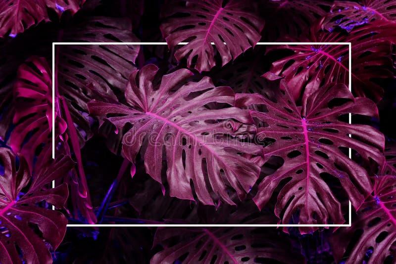 紫外背景影响由monstera热带叶子制成 库存照片