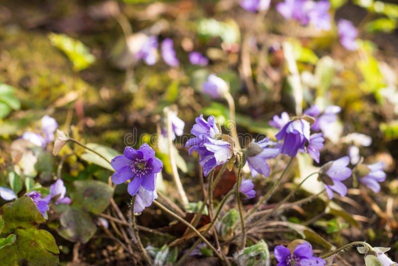 紫外liverleaf或hepatica草甸开花与smal 免版税库存图片