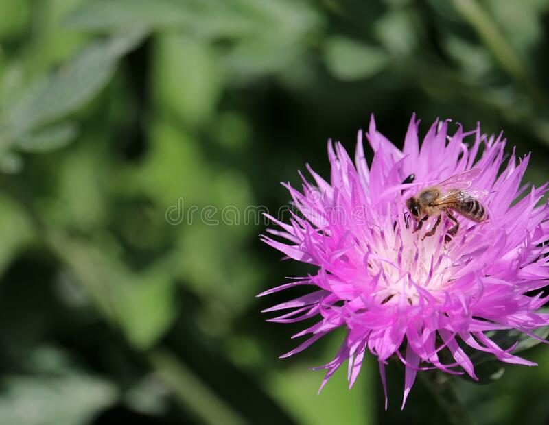 紫玉米花与蜜蜂 野花玉米 模糊背景中的玉米花 免版税图库摄影