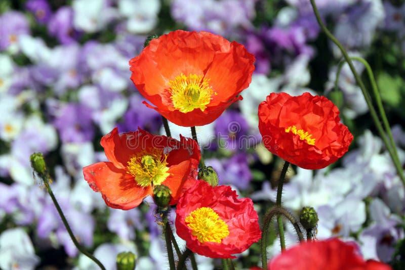 紫罗兰和桔子 库存照片