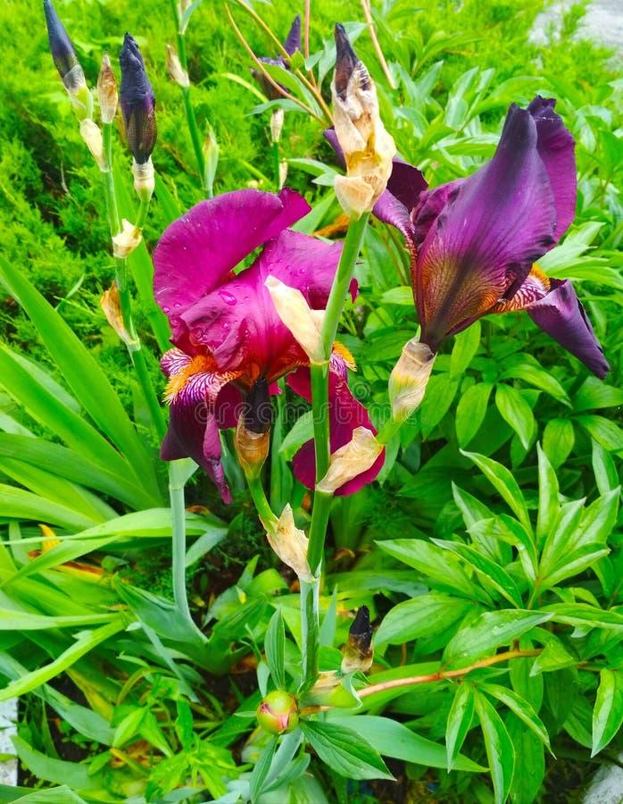 紫罗兰在雨以后使现虹彩 库存照片