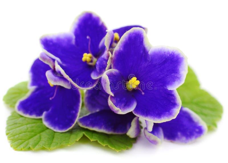 紫罗兰美丽的花 免版税图库摄影