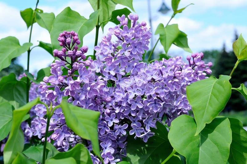 紫罗兰色丁香分支反对蓝天的 库存图片