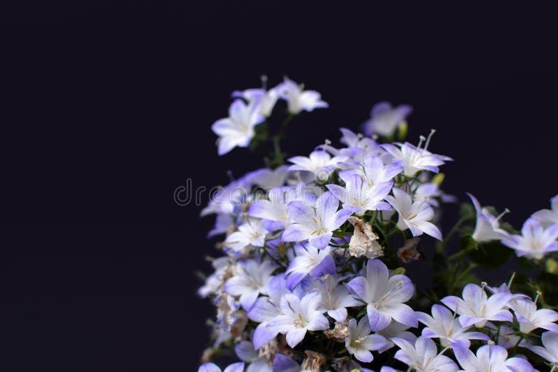 紫罗兰色和白色开花的'风轮草'吊钟花'在黑背景 免版税库存图片