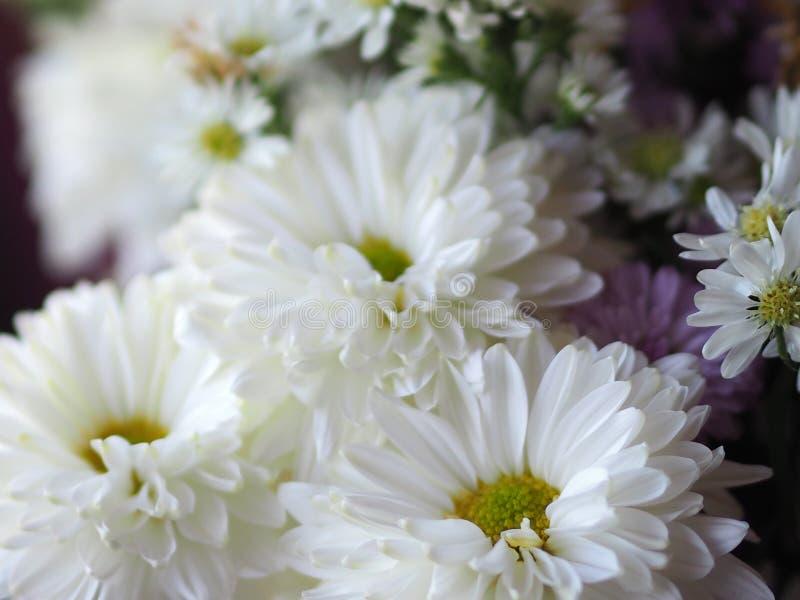 紫罗兰色和白色花瓣被堆积入层数命名大丁草jamesonii,菊科,大丁草,Barberto雏菊,德兰士瓦雏菊 库存图片