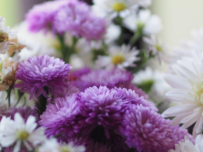紫罗兰色和白色花瓣被堆积入层数命名大丁草jamesonii,菊科,大丁草,Barberto雏菊,德兰士瓦雏菊 免版税库存照片