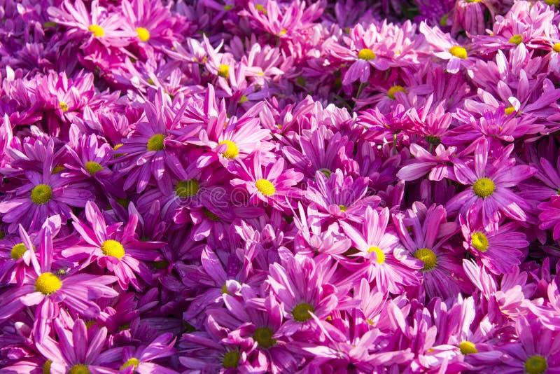 紫罗兰色大丁草雏菊 库存照片