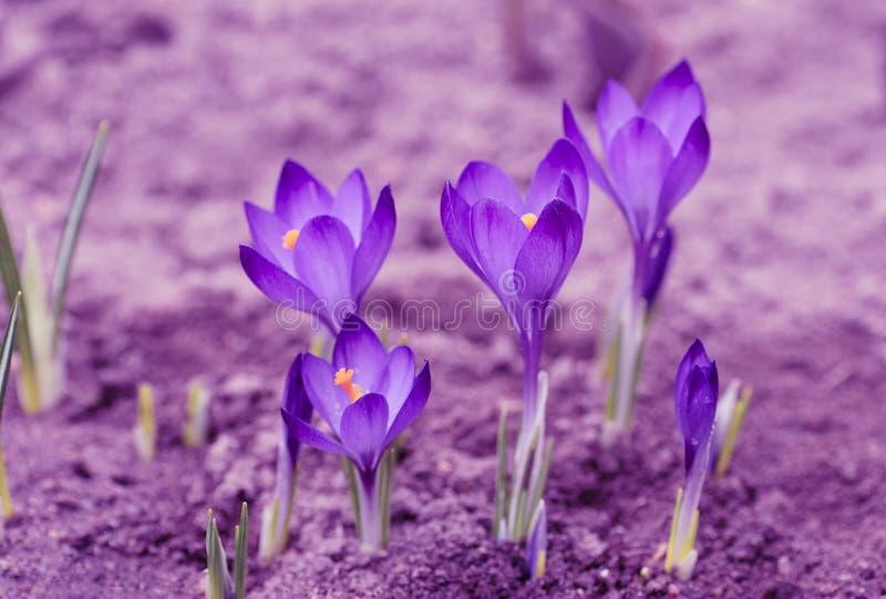 紫罗兰色定调子 开花的番红花 第一花春天 免版税库存照片