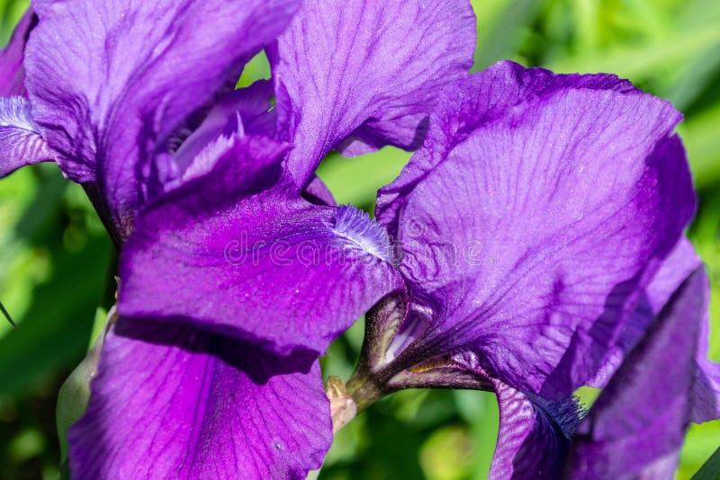 紫罗兰色开花的虹膜花在庭院,特写镜头里 免版税库存图片