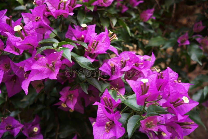 紫罗兰色开花的beegevilia在热天气的一个夏日 免版税库存照片