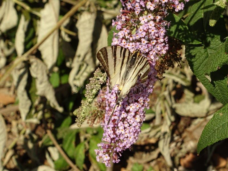 紫罗兰色微小的花分支在树枝的 免版税库存图片