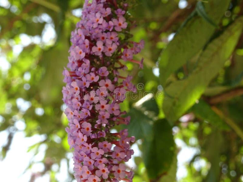 紫罗兰色微小的花分支在树枝的 免版税库存照片