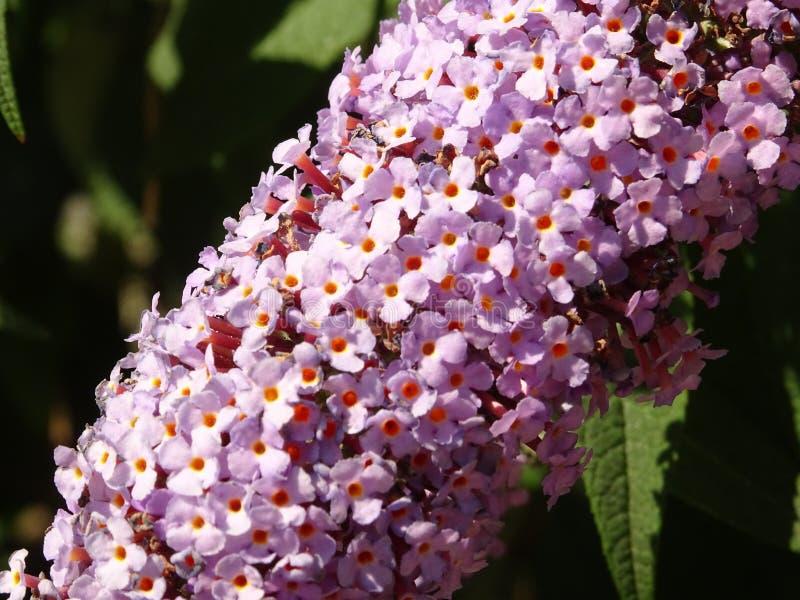 紫罗兰色微小的花分支在树枝的 库存图片