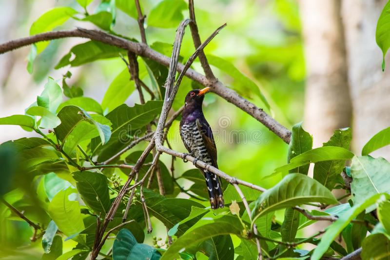 紫罗兰色杜鹃 库存图片