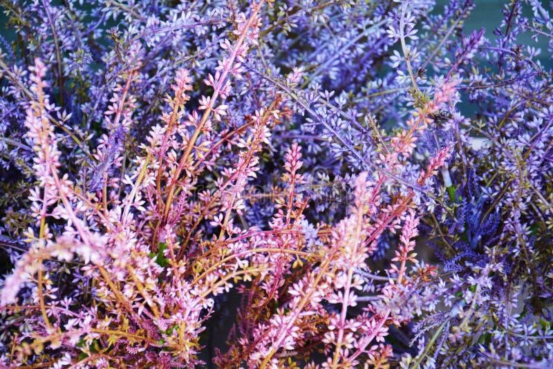紫罗兰色桃红色冬天花和绿色叶子花,关闭 库存照片