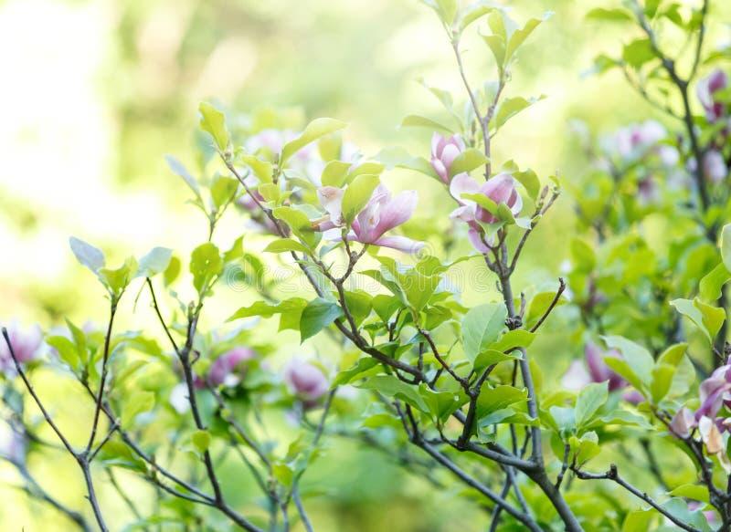 紫罗兰色桃红色木兰花的关闭与阳光 与绿色叶子的美好的开花的分支在春天 桃红色盛开木兰花 库存图片