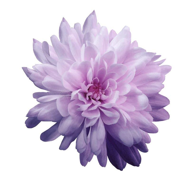 紫罗兰色桃红色的菊花 开花在与裁减路线的被隔绝的白色背景,不用阴影 特写镜头 对设计 库存照片