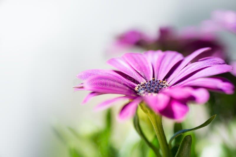 紫罗兰色桃红色osteosperumum雏菊花 库存照片