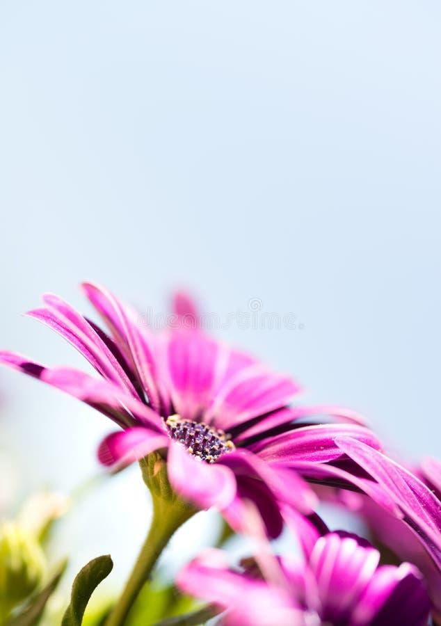 紫罗兰色桃红色osteosperumum雏菊花 免版税图库摄影