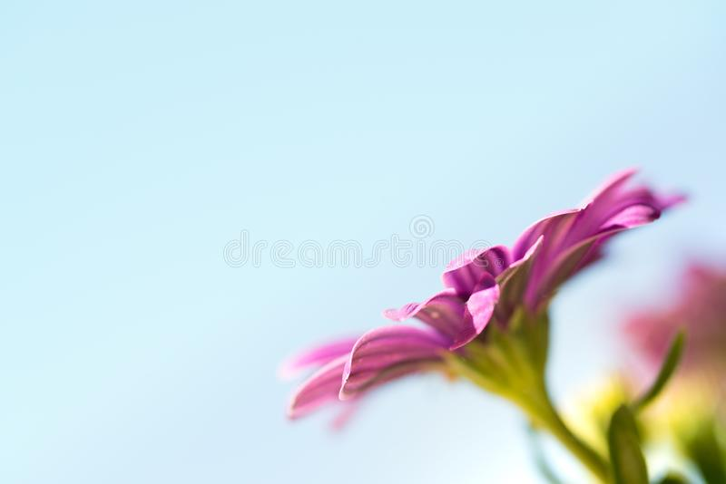 紫罗兰色桃红色osteosperumum雏菊花 免版税库存图片