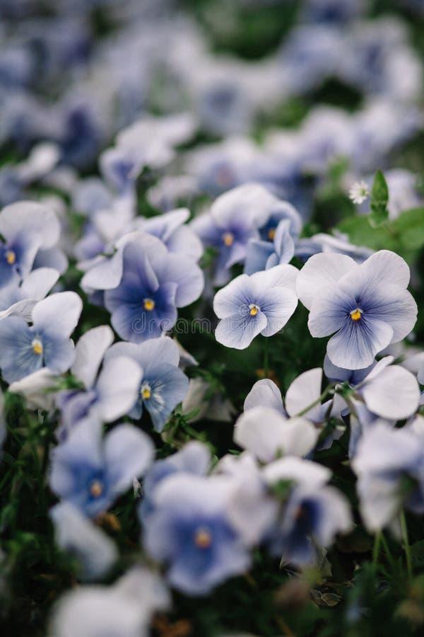 紫罗兰色森林花Hepatica nobilis紫罗兰特写镜头 免版税库存图片