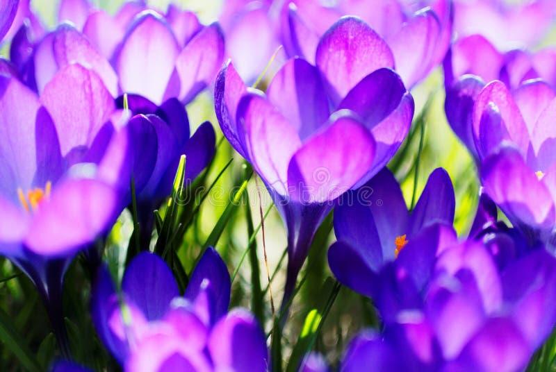 紫罗兰色番红花绽放明亮在阳光下 免版税库存图片
