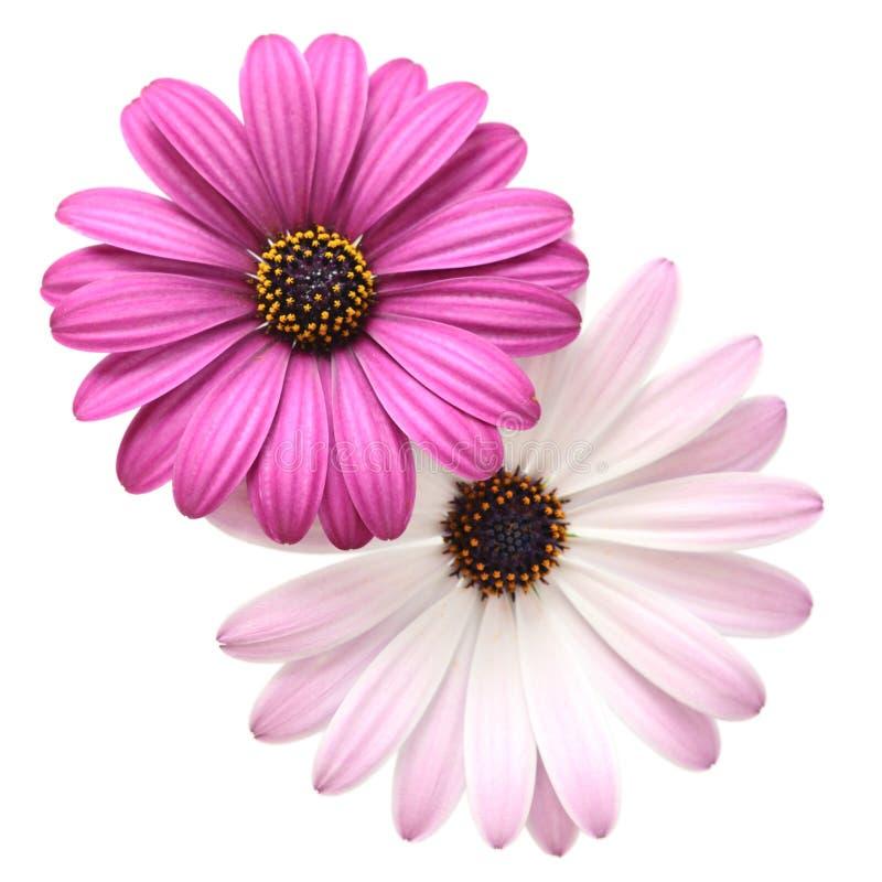 紫罗兰色的雏菊 库存照片