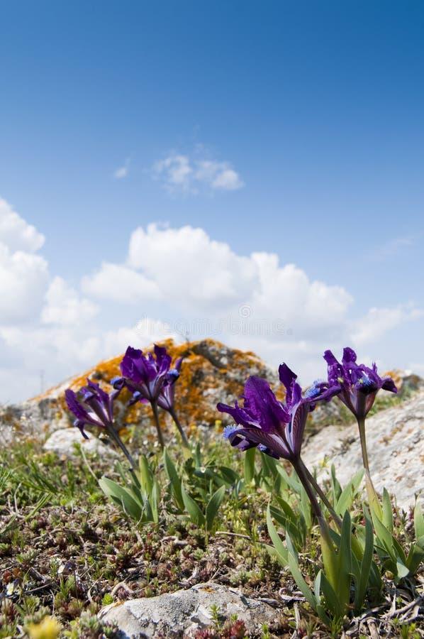 紫罗兰色矮小的虹膜 免版税库存照片
