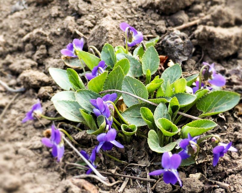 紫罗兰色紫罗兰花在春天森林开花 免版税库存照片
