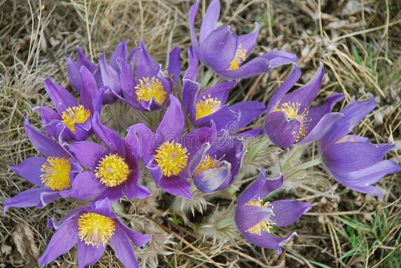 紫罗兰色组的snowdrops 免版税库存照片
