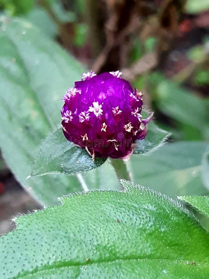 紫罗兰色绽放花 图库摄影