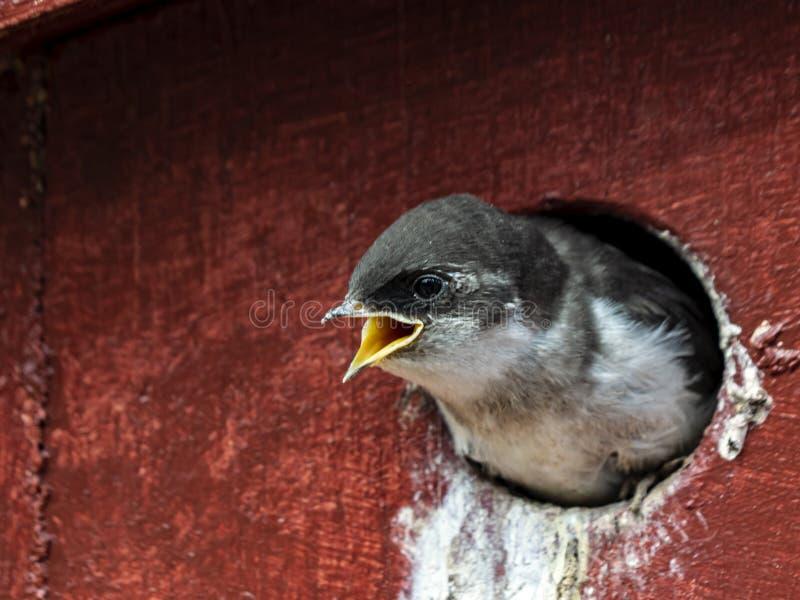 紫罗兰色绿的燕子小鸡 免版税库存图片