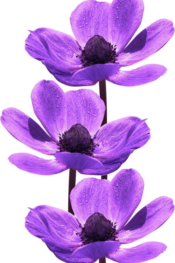 紫罗兰色美丽的花 免版税库存图片