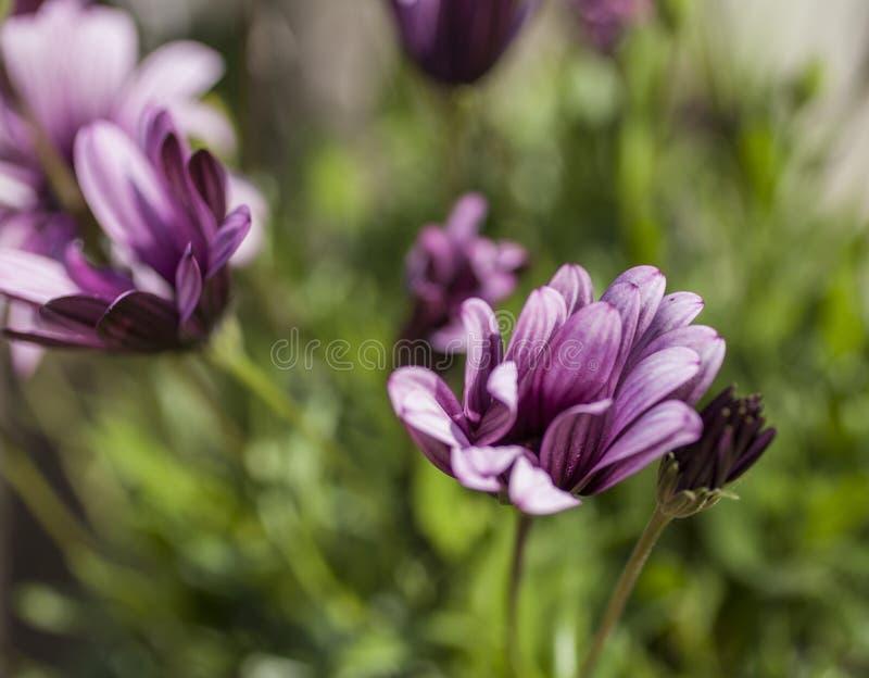紫罗兰色花和绿色叶子- 7月在伦敦 库存照片
