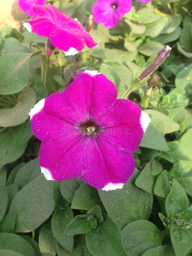 紫罗兰色花在庭院里 免版税库存照片