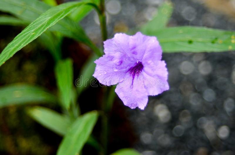 紫罗兰色花在庭院里 库存照片