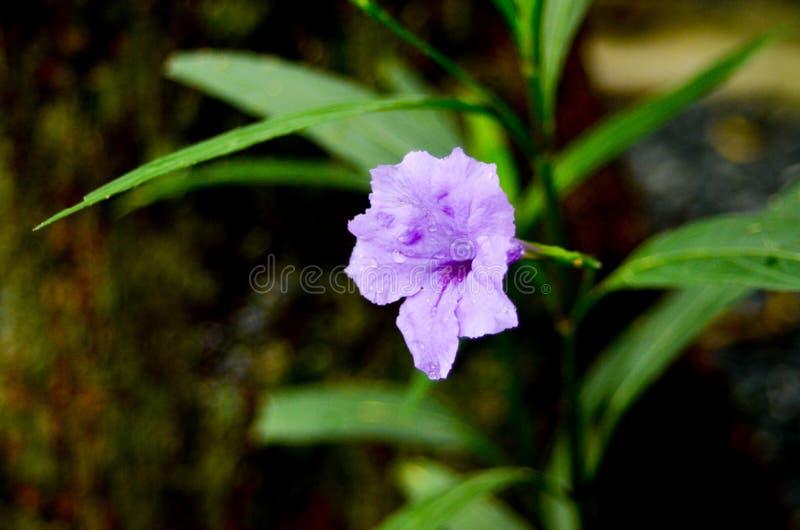 紫罗兰色花在我的庭院里 库存图片