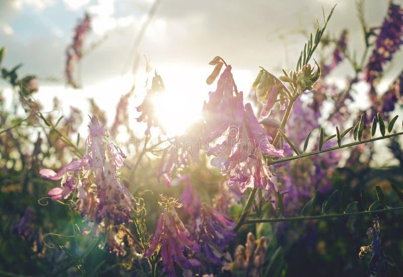 紫罗兰色花在金黄小时 免版税库存照片