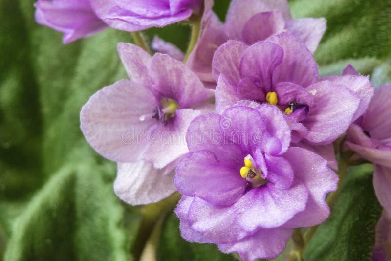 紫罗兰色花接近的射击在绿色叶子背景的 免版税图库摄影