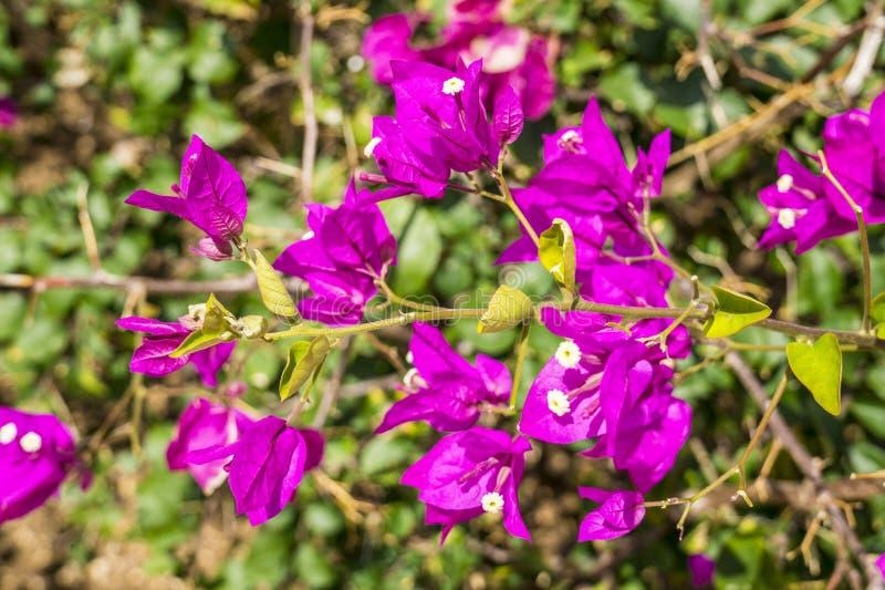 紫罗兰色花本质上 库存图片