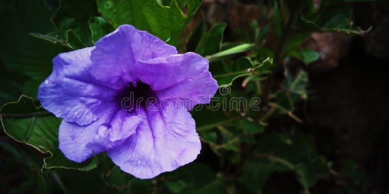 紫罗兰色花桌面背景 免版税图库摄影