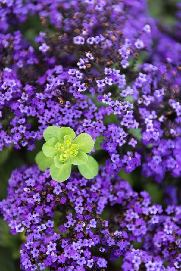 紫罗兰色花的领域包围的绿色植物 免版税库存图片