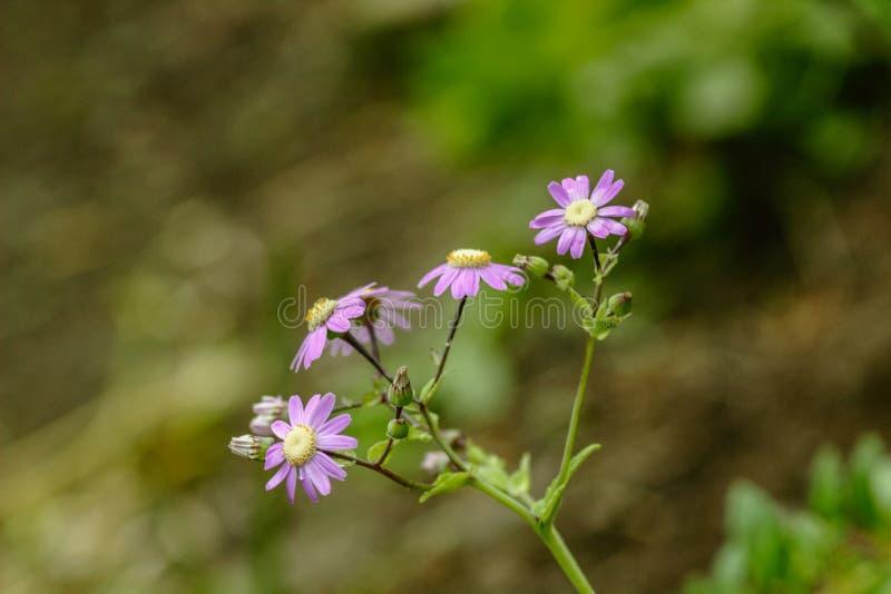 紫罗兰色花非洲雏菊有绿色事假背景 野生特内里费岛植物 E 库存照片
